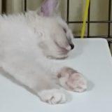ラグドールの子猫の寝顔。
