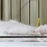 ラグドールの子猫の肉球。伸びをしている所。