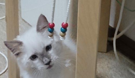 ラグドールの子猫。パーカーの紐に気をとられている所。