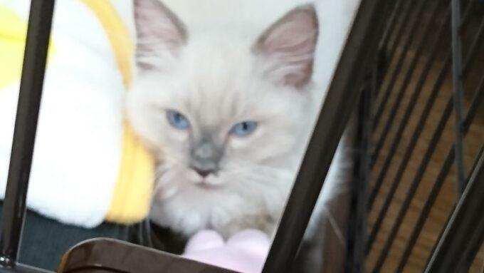 ラグドールの子猫。こちらの様子をうかがって、上目遣いになっています。