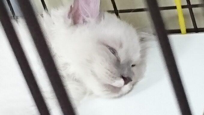 ラグドールの子猫が眠っている所。白目をむいていて少し怖いです。