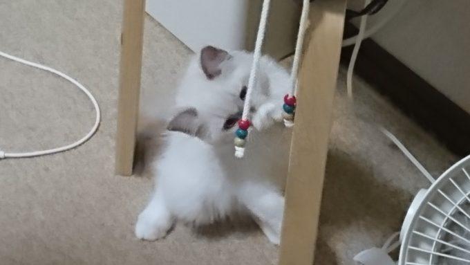 ラグドールの子猫がパーカーの紐で遊んでいる様子。