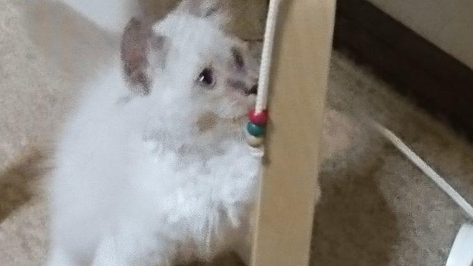 再度、紐を引っ張ろうとする子猫。