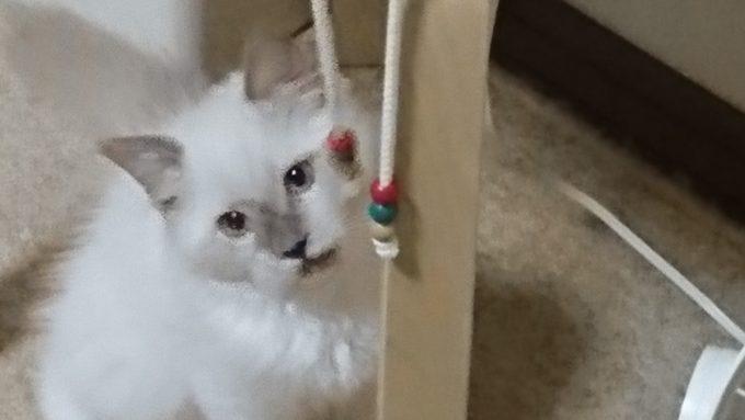 パーカーの紐をチラ見する子猫。