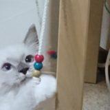 紐遊びを全力でする子猫。