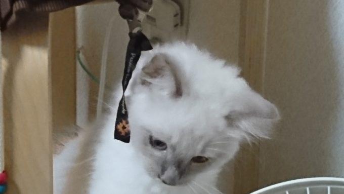 首をひねって考え事をするラグドールの子猫