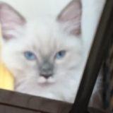 こちら側に厳しい視線を向けるラグドールの子猫。