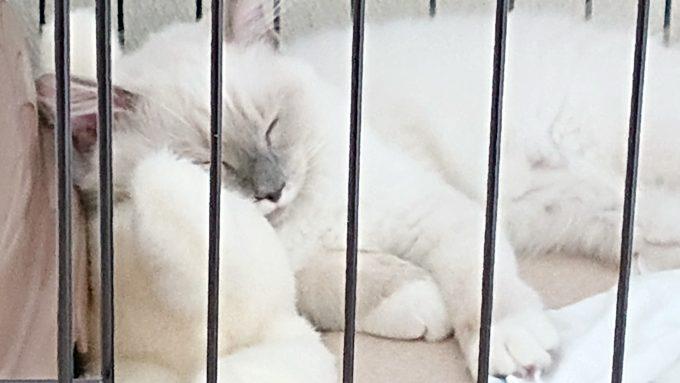 ぬいぐるみに横たわって眠る子猫。自分とほぼ同じサイズのぬいぐるみが大好き。