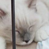 ラグドールの子猫が伏せの体制で眠っている所。
