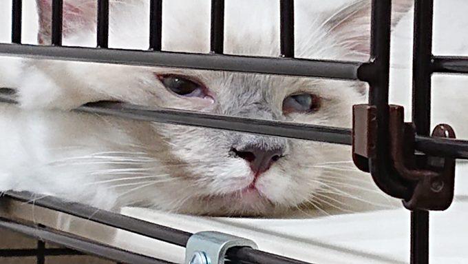 ラグドールの子猫を正面から撮影。左目が若干閉じかけています。