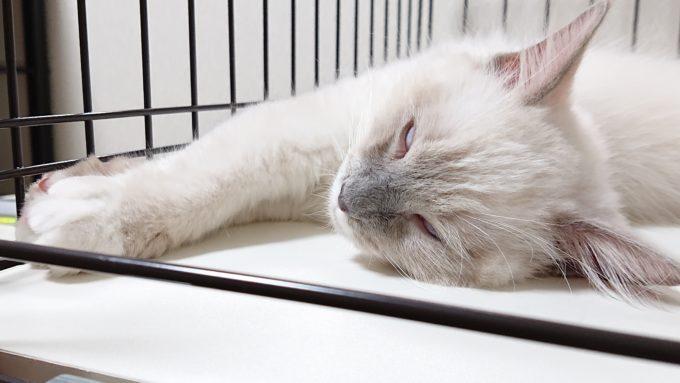 白目をむいて眠るラグドールの子猫。