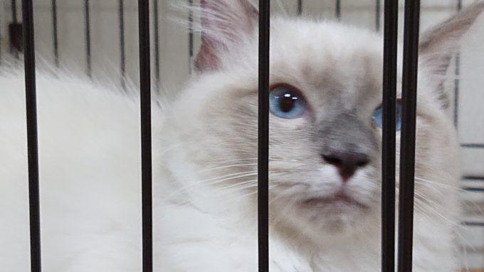 ラグドールの子猫、正面からケージ内を撮影。