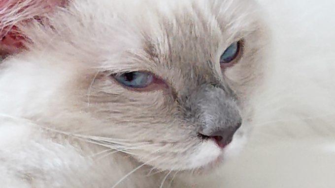 ラグドールの子猫が下から見つめている写真。少しキツイ目線になっています。
