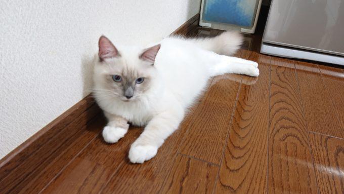 床に横たわった生後五カ月のラグドールの写真。