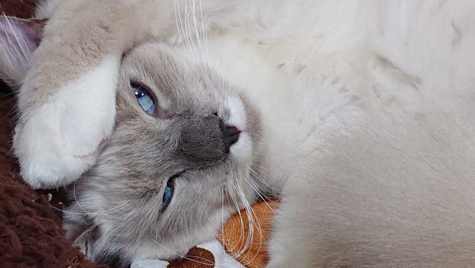片目をつぶったラグドールの子猫。片腕を頭の上にあげている写真。