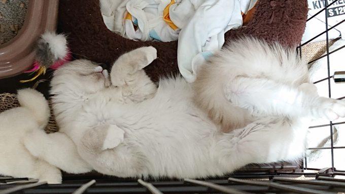 ケージ内で眠る子猫、ラグドールの写真。