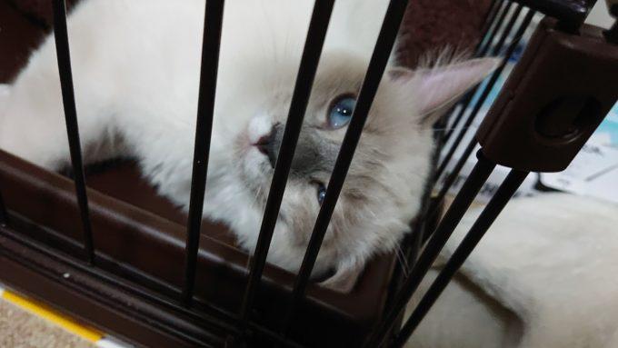 ケージの中から見上げてくるラグドールの子猫の写真。