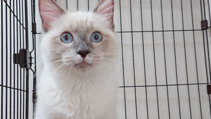 目を見開いたラグドール、子猫の写真。