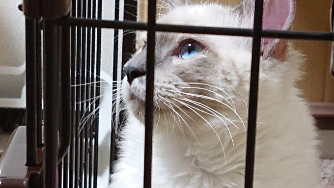 ラグドールの子猫、プリューシュの横顔。