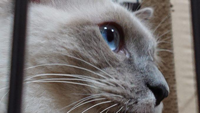 プリューシュ(ラグドール)の横顔の写真。