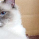 ラグドールの子猫が右下を眺めている写真。2019年01月01日12時54分11秒撮影。