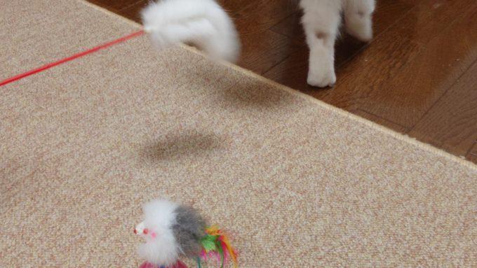 猫じゃらしにそっぽを向くラグドールの子猫。後ろを向いて立ち去っていく姿の写真。