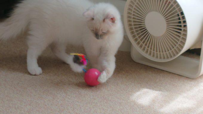 ネズミのおもちゃで遊ぶラグドールの子猫の写真。前足でおもちゃを触っている所。