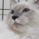ラグドールの子猫(下からアングル)の写真。月齢7カ月の子猫が写っています。