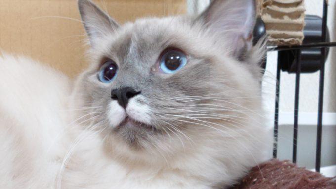 瞳孔を開いて左上を見ているプリューシュの写真。2019年01月04日18時19分34秒撮影。