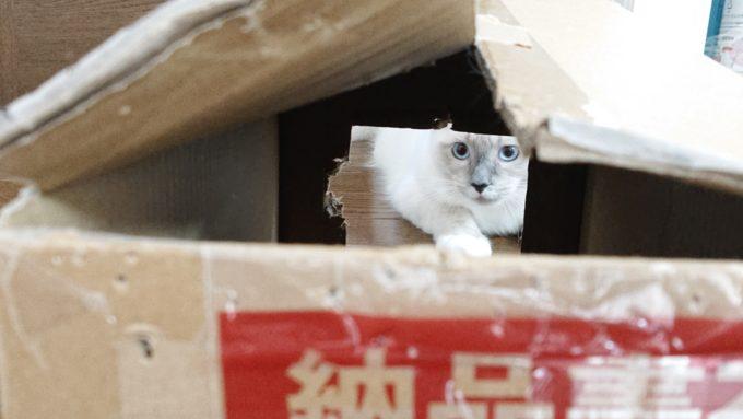 2018年10月08日09時39分45秒撮影の、段ボールの中からこちらを窺うラグドールの子猫の写真。