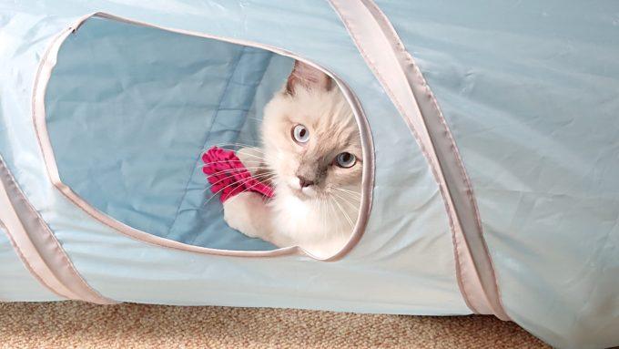 猫壱のキャットトンネルスパイラルで遊ぶプリューシュ。2018年09月16日12時49分42秒撮影。