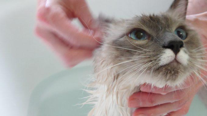 濡れたコットンで耳掃除をされる猫(ラグドール)のプリューシュ。