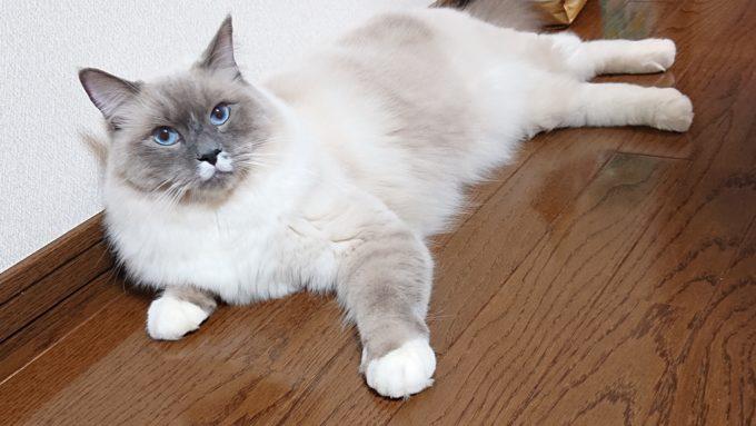 2020年02月16日18時58分21秒撮影のプリューシュ。ラグドール・ブルーポイントミテッドの猫。