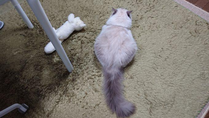 2020年01月27日23時21分11秒撮影。ラグドール・ブルーポイントミテッドの猫。後ろ姿を上から撮影。