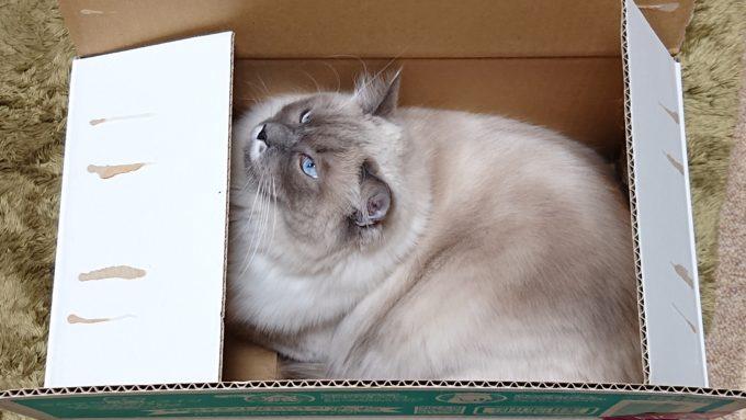 2020年02月28日17時07分50秒撮影のプリューシュ。ラグドール・ブルーポイントミテッドの猫。