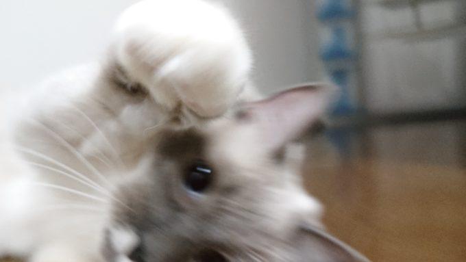 へなちょこ猫パンチを繰り出すラグドールのプリューシュ、2019年01月28日11時12分20秒撮影。
