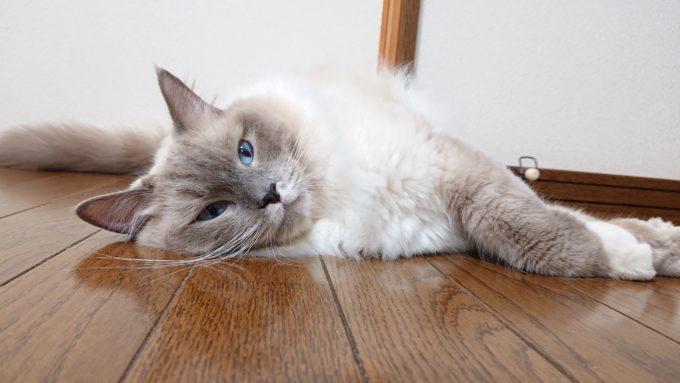 2019年08月20日22時27分01秒撮影。ラグドール・ブルーポイントミテッドの猫。