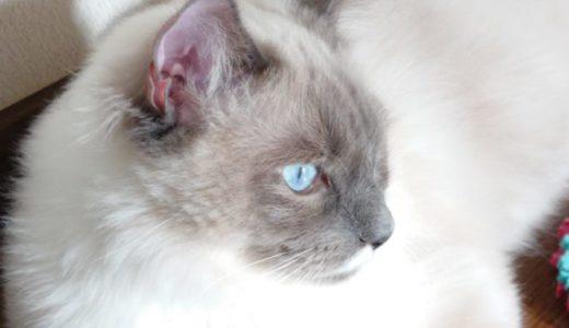 【比較的安全】ラグドールは積極的に爪で攻撃をして来ない特殊な猫