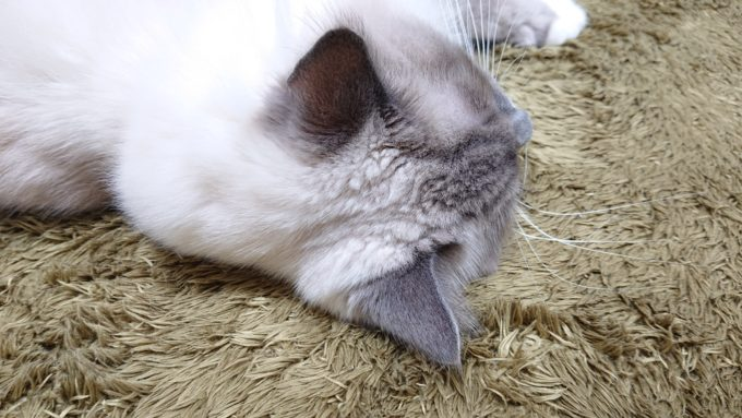 2020年04月18日21時50分56秒撮影のプリューシュ。ラグドール・ブルーポイントミテッドの猫。