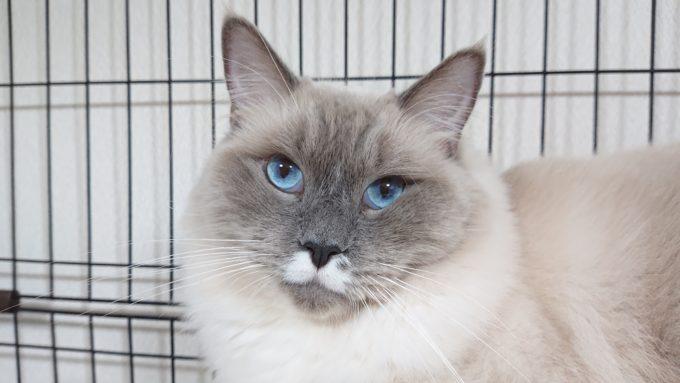 ラグドール・ブルーポイントミテッドの猫。