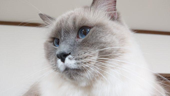 2020年01月22日00時04分13秒撮影のプリューシュ。ラグドール・ブルーポイントミテッドの猫。