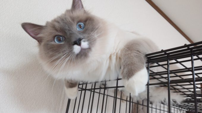 2019年04月19日10時04分33秒撮影。ラグドール・ブルーポイントミテッドの猫。