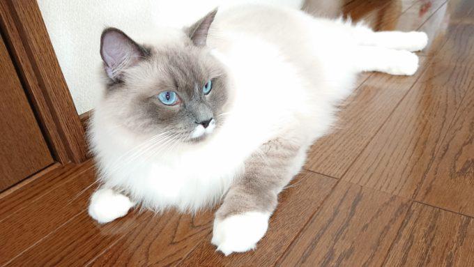 2020年04月15日13時00分22秒撮影のプリューシュ。ラグドール・ブルーポイントミテッドの猫。