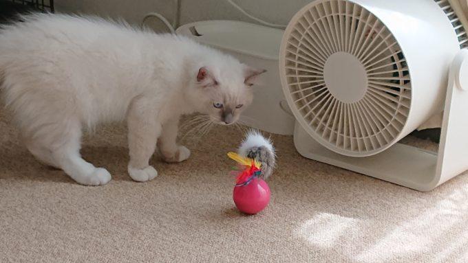 ネズミのおもちゃを見つめる子猫のプリューシュ。