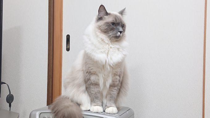 2020年03月16日11時52分52秒撮影のプリューシュ。ラグドール・ブルーポイントミテッドの猫。