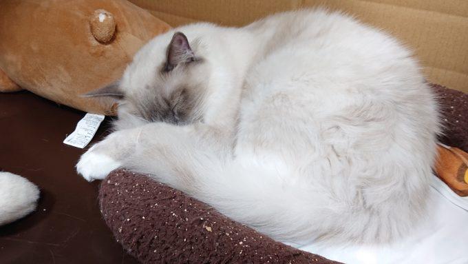 月齢8カ月のプリューシュ、眠っている姿。