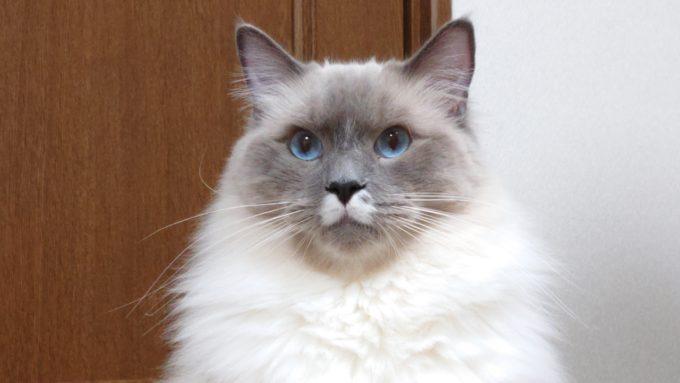 2020年04月18日22時03分35秒撮影のプリューシュ。ラグドール・ブルーポイントミテッドの猫。