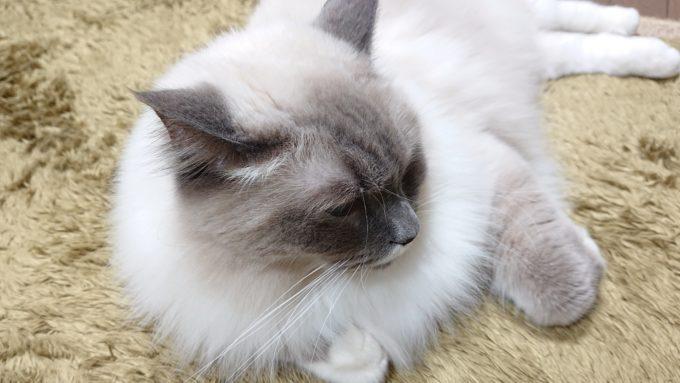 2020年04月18日21時44分54秒撮影のプリューシュ。ラグドール・ブルーポイントミテッドの猫。