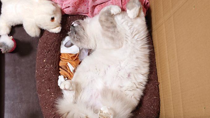 ラグドールのプリューシュ、月齢7カ月の頃。お腹を見せて眠っている所。