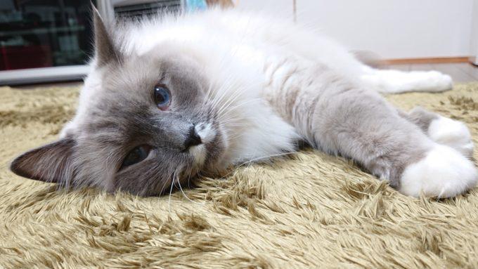 2020年04月18日21時45分45秒撮影のプリューシュ。ラグドール・ブルーポイントミテッドの猫。